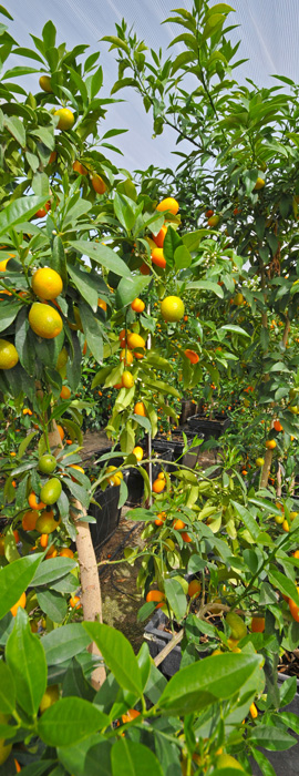 Sunset Nursery Inc Is A 4th Generation Family Owned And Operated Whole Citrus In Yuma Arizona As The Largest