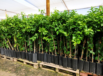 Commercial Fruit Trees