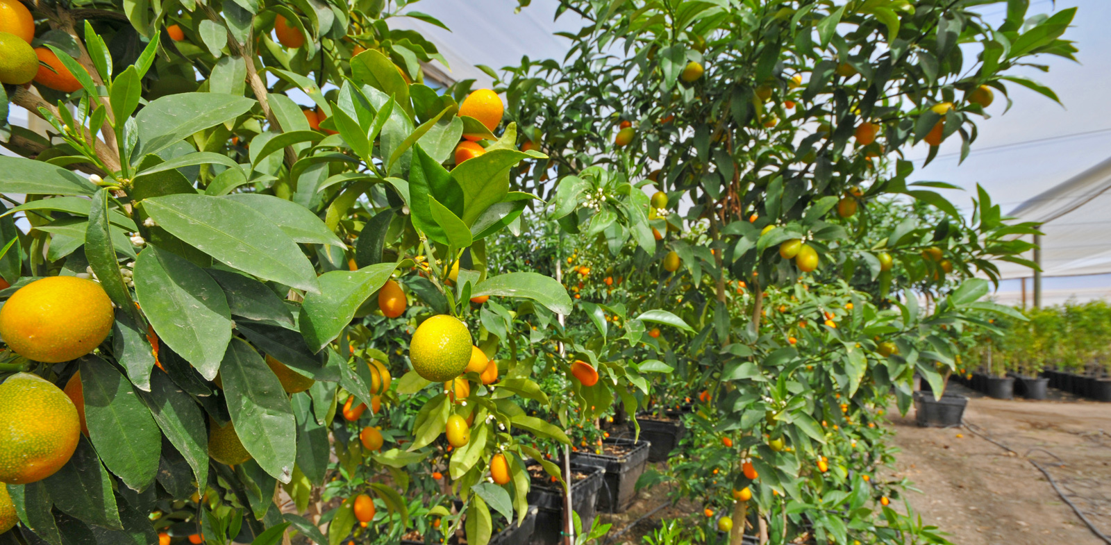 Whole Citrus Nursery